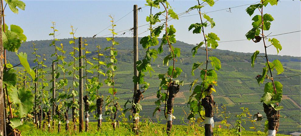 como plantar uva orgânica : parreira de uva