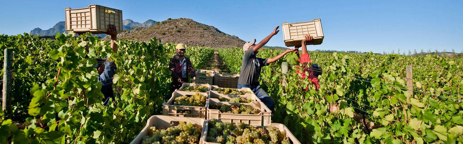 como plantar uva orgânica : plantação de uva
