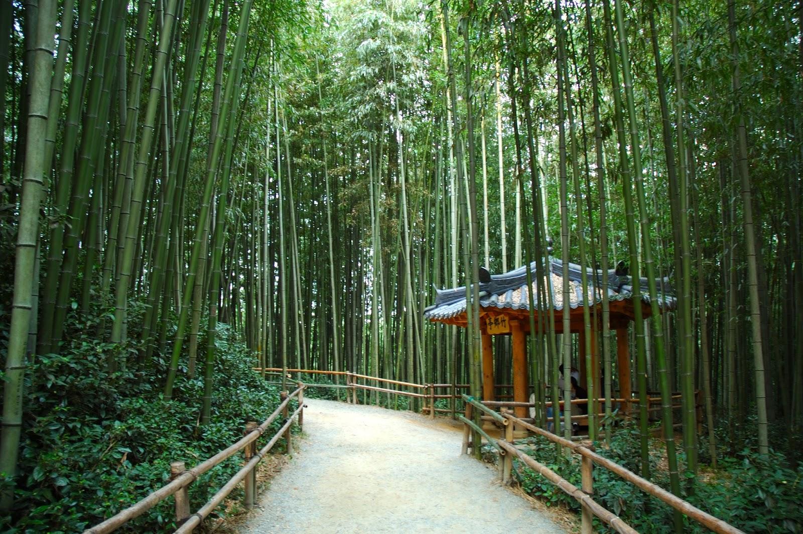 como plantar bambu orgânico : bambu gigante