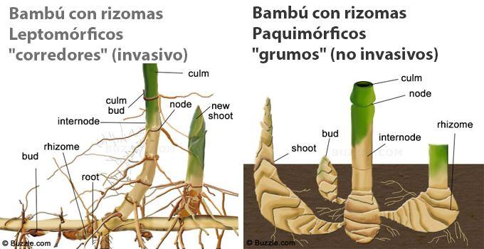 como plantar bambu orgânico : bambu raiz