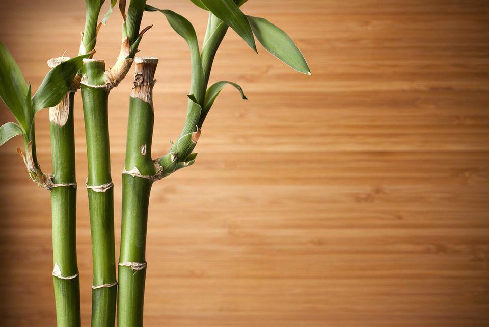 como plantar bambu orgânico : tudo sobre cultivo de bambu