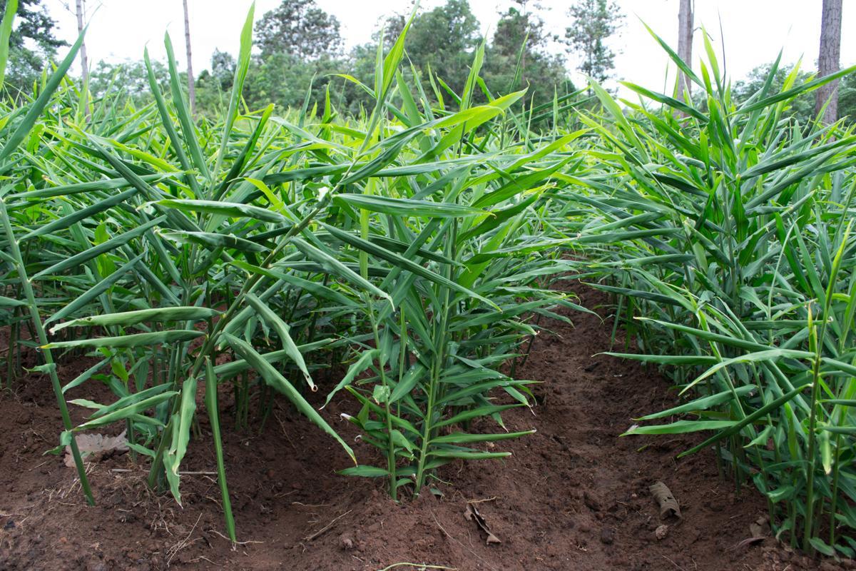como plantar gengibre orgânico : gengibre na horta