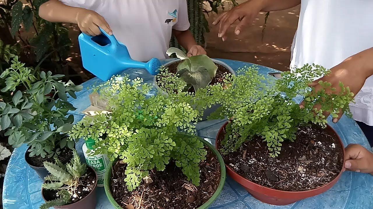 como cultivar avenca : como cuidar de avenca