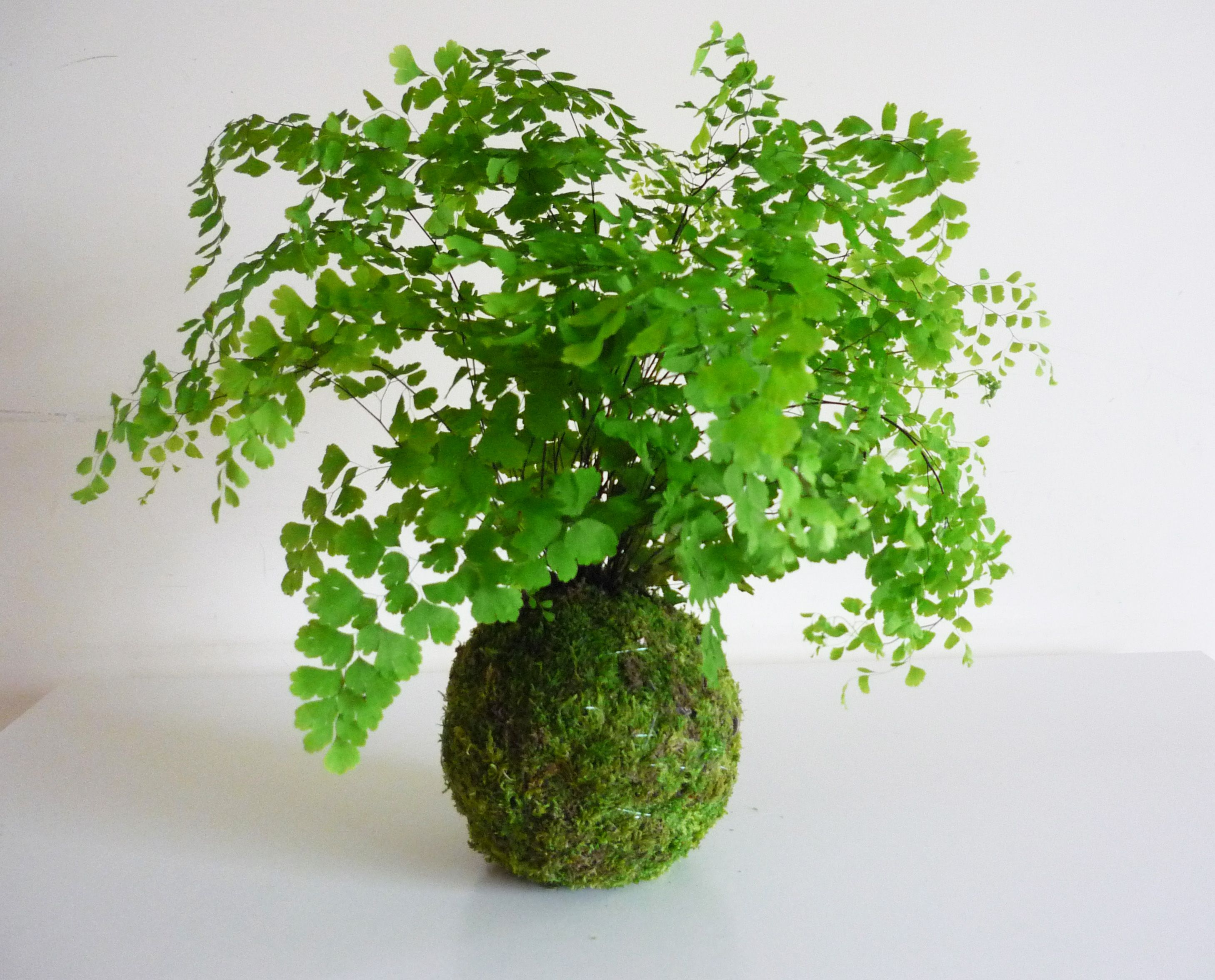 como cultivar avenca