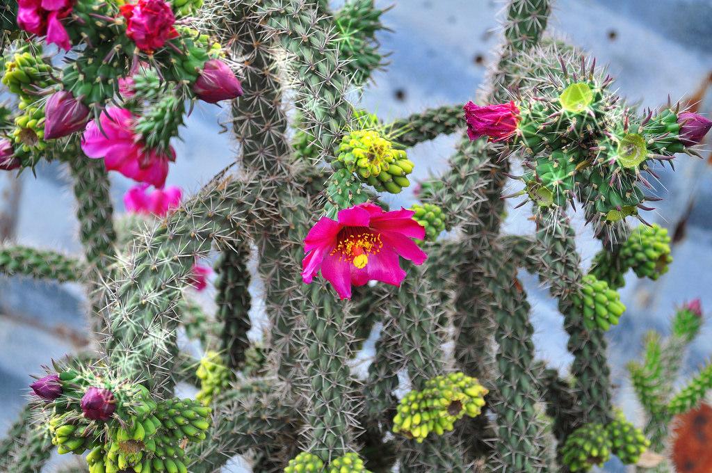 como plantar cactos orgânicos : flor de cacto