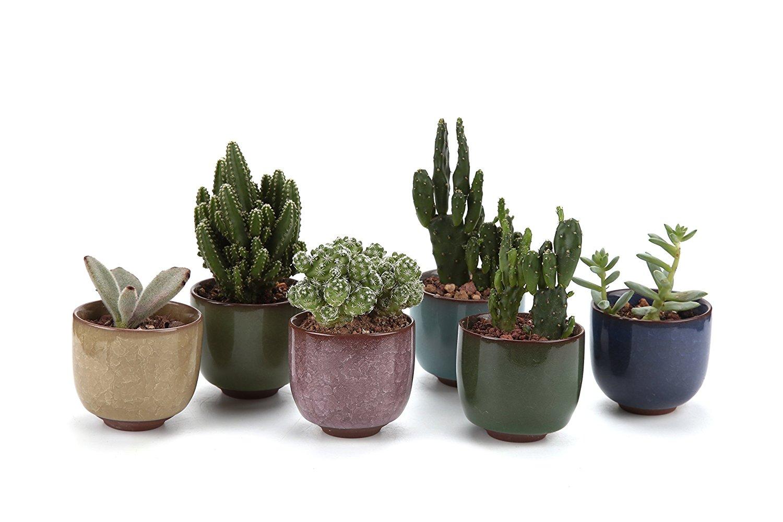 como plantar cactos orgânicos : vasinho de cacto
