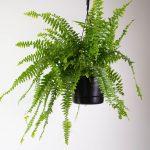 Descubra Como Plantar Samambaia Orgânica e Ornamentar seu Jardim