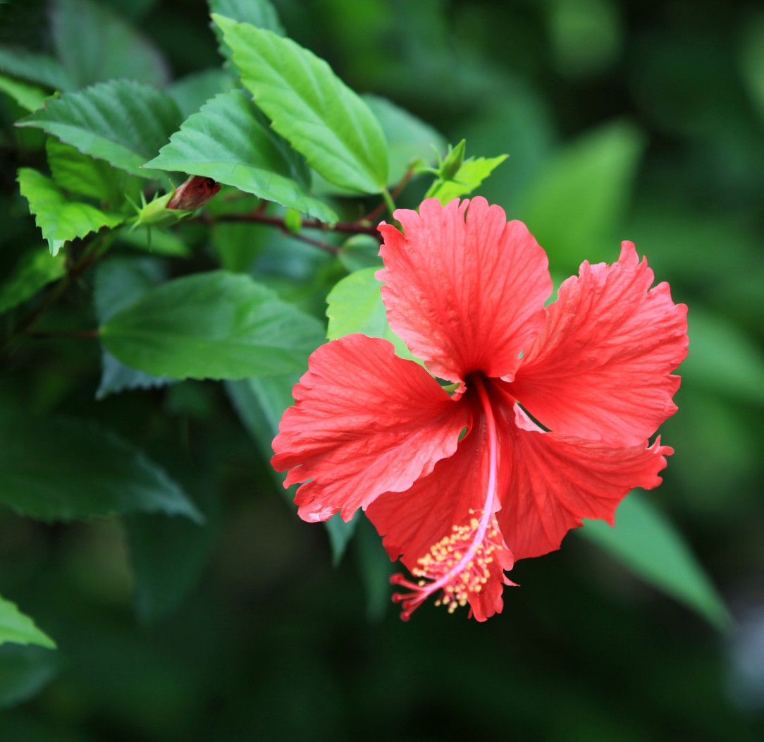 flores que gostam de sol : hibisco