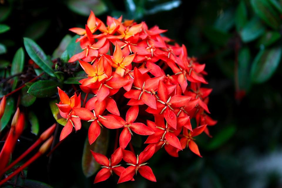 flores que gostam de sol : ixora
