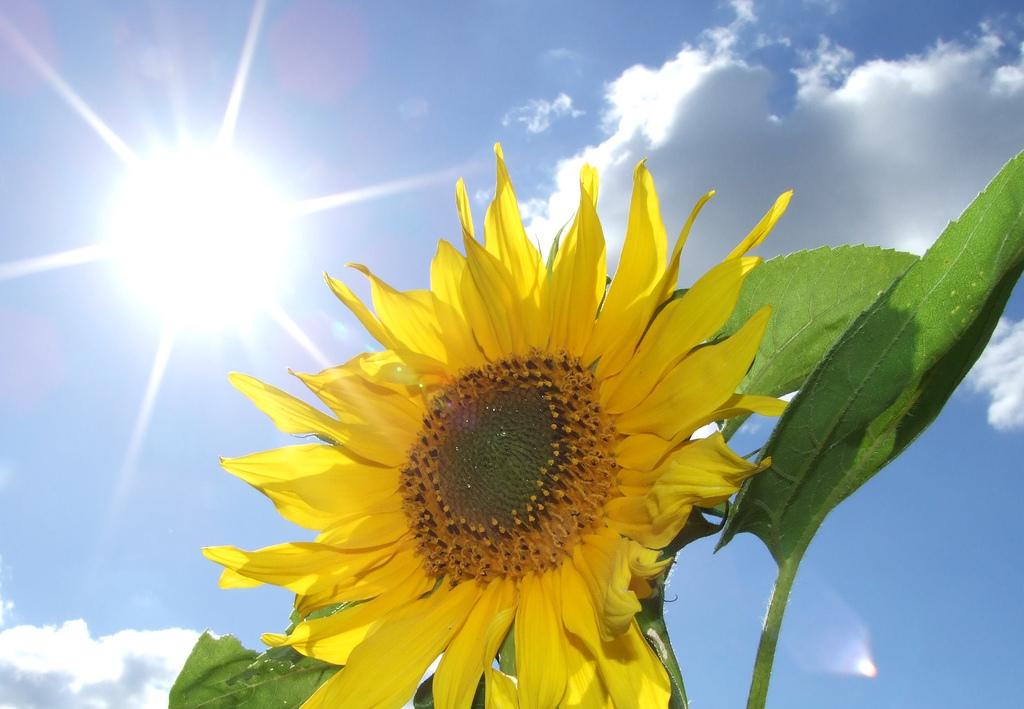 flores que gostam de sol : plantas ornamentais de sol