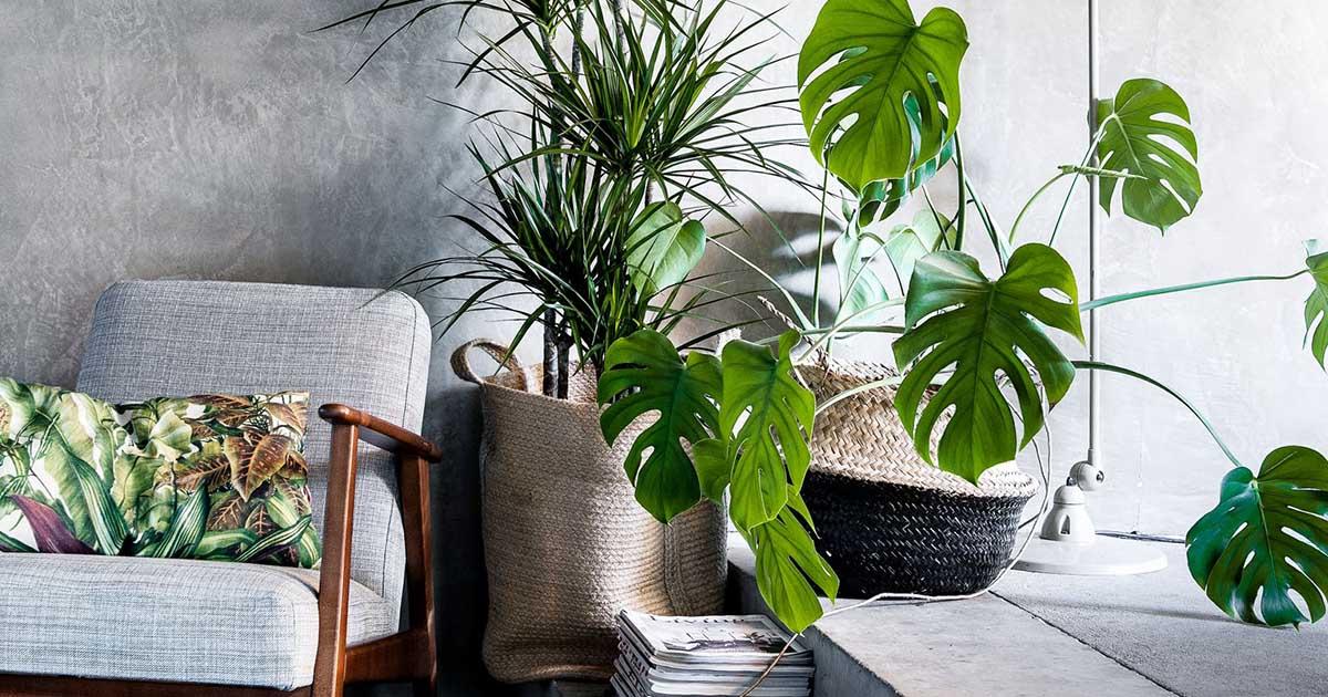 como plantar costela de adão orgânica : costela de adão planta em vaso