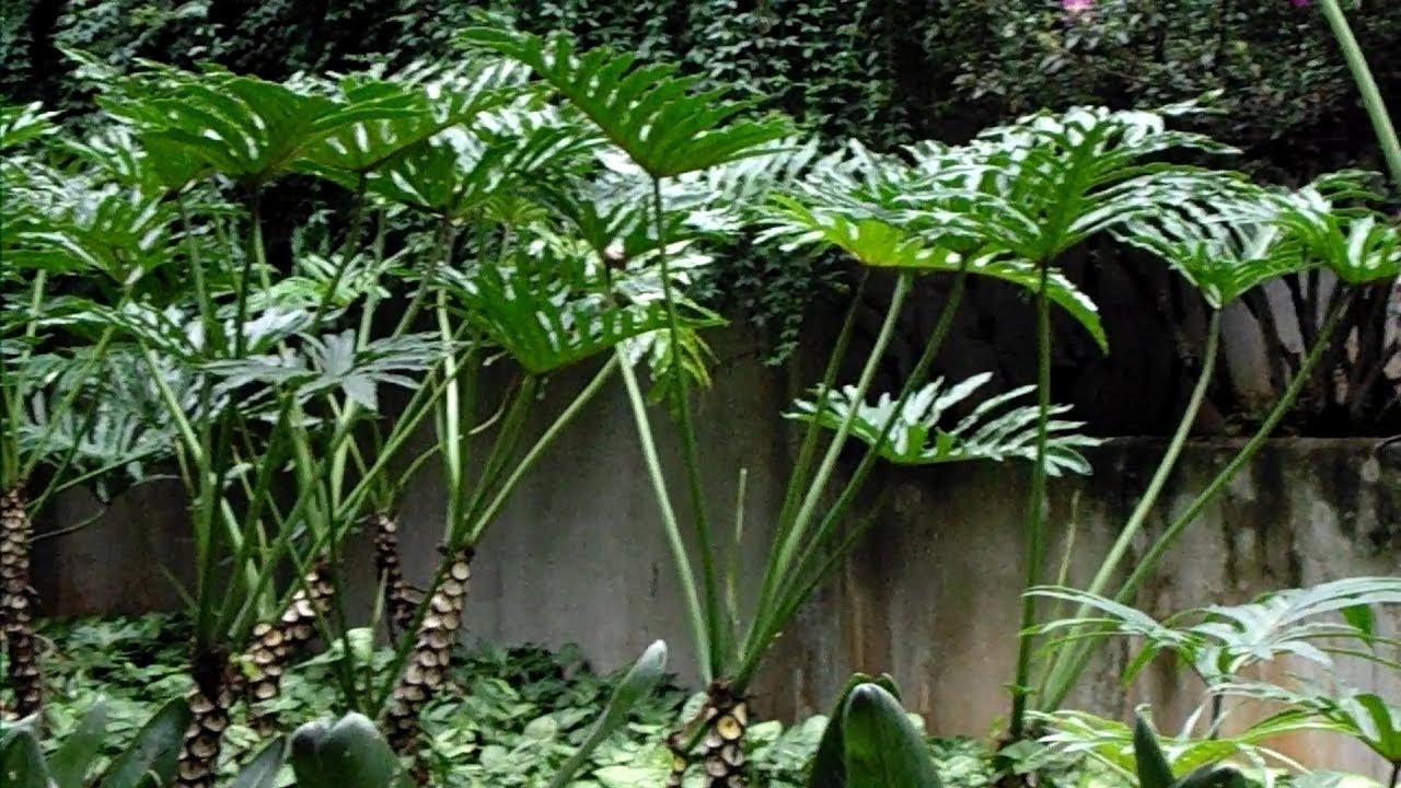 como plantar costela de adão orgânica : planta costela de adão
