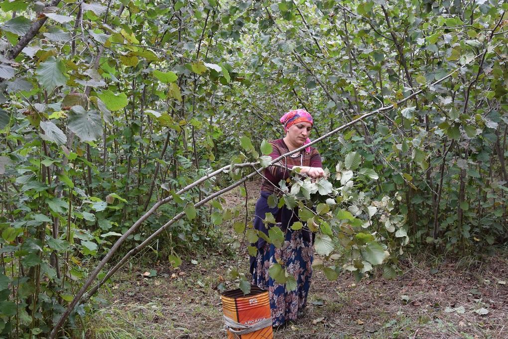 como plantar avelã orgânica : árvore de avelã