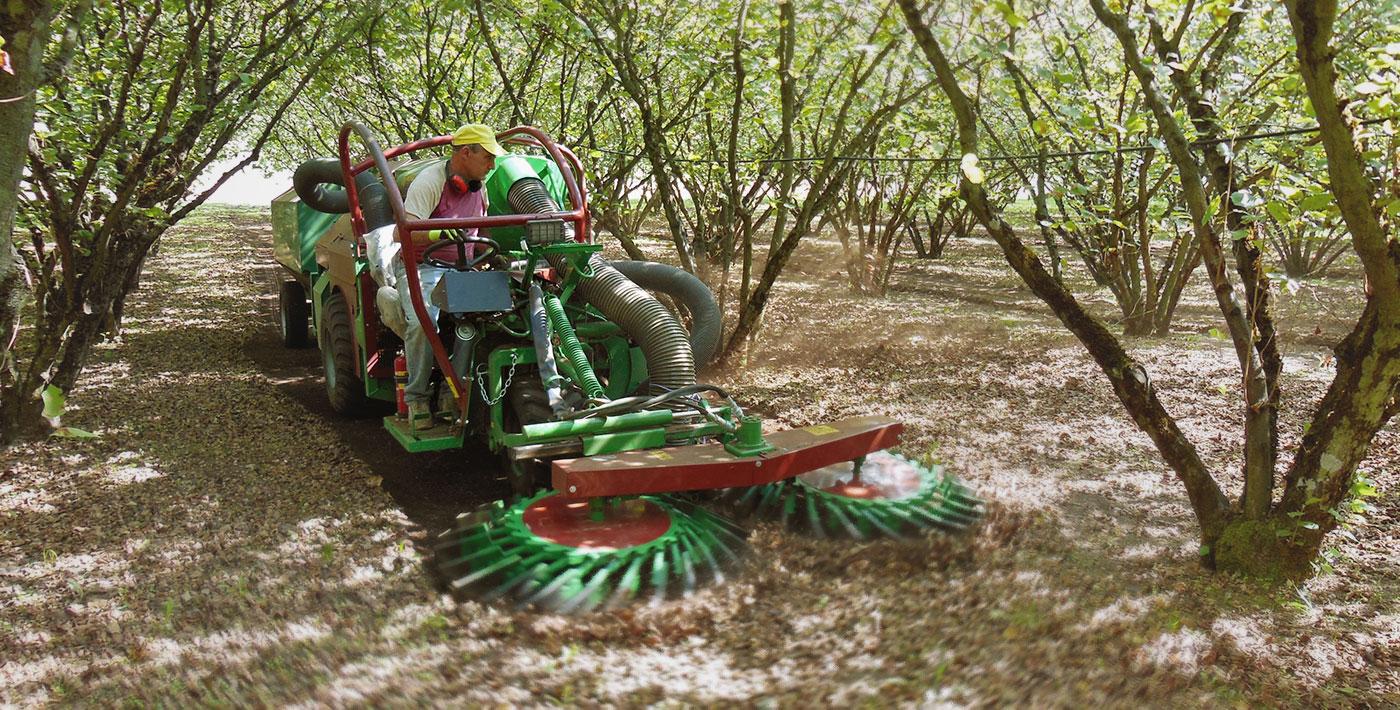 como plantar avelã orgânica : avelã árvore