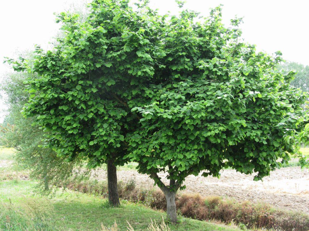 como plantar avelã orgânica : aveleira