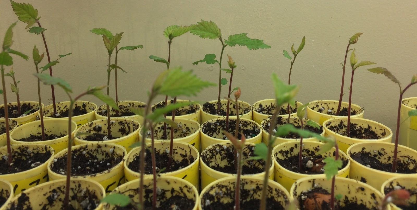 como plantar avelã orgânica : mudas de avelã