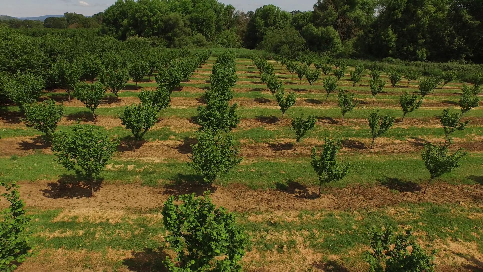como plantar avelã orgânica : plantação de avelã