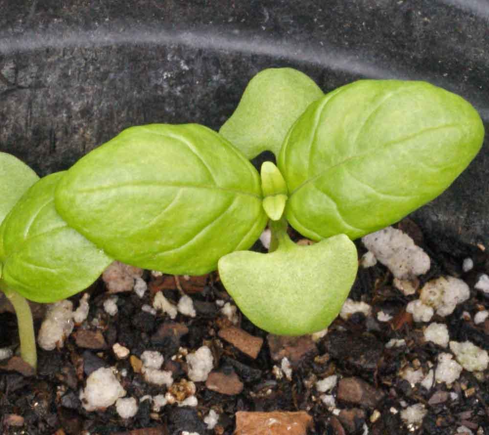 como plantar manjericão orgânico : manjericão de folha larga