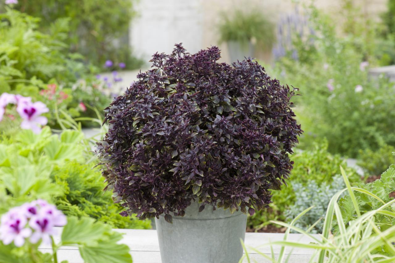 como plantar manjericão orgânico : manjericão roxo