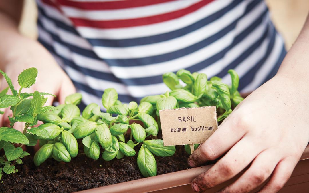 como plantar manjericão orgânico : pé de manjericão