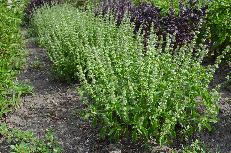 como plantar manjericão orgânico : tipos de manjericão
