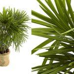 como plantar ráfia orgânica