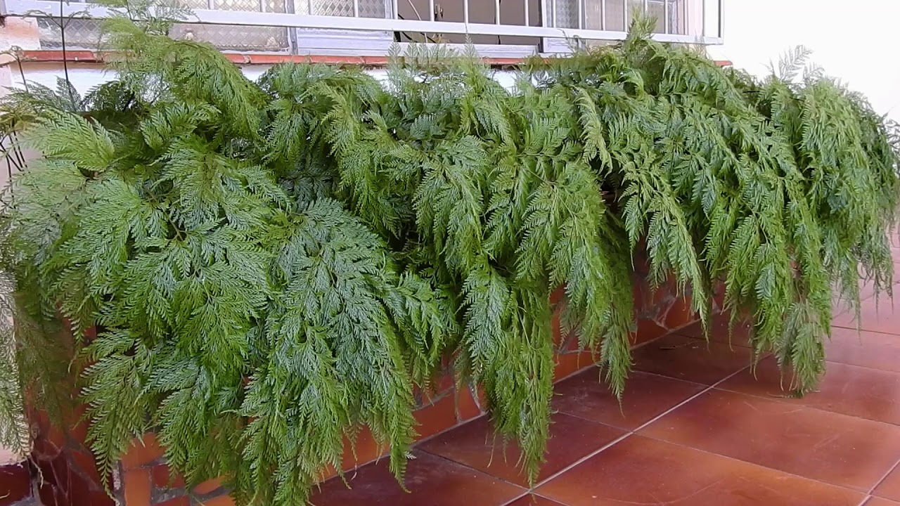 como plantar renda portuguesa orgânica : planta renda portuguesa