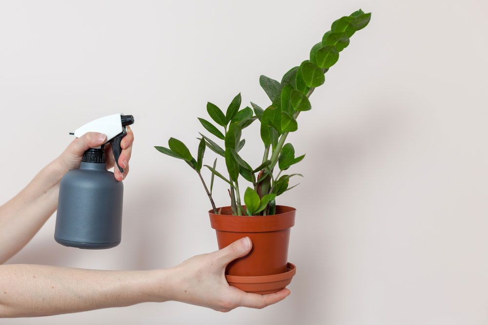 como plantar zamioculca orgânica : zamioculca como cuidar