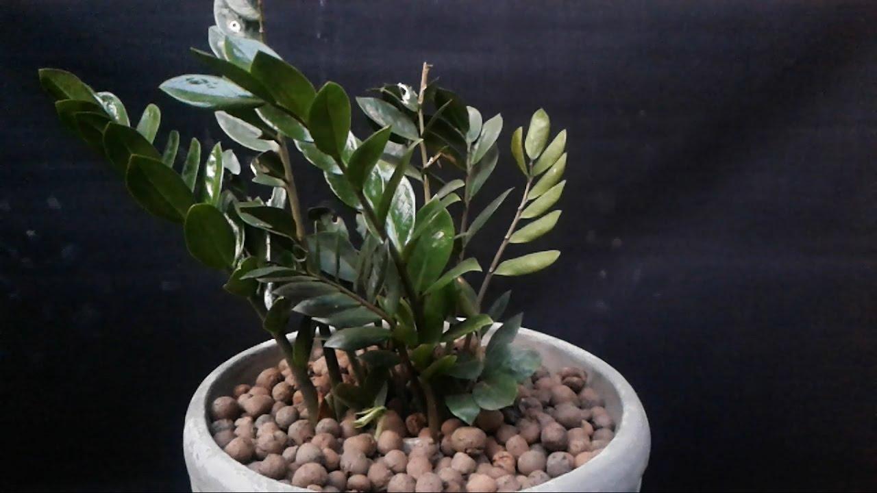 como plantar zamioculca orgânica : zamioculca