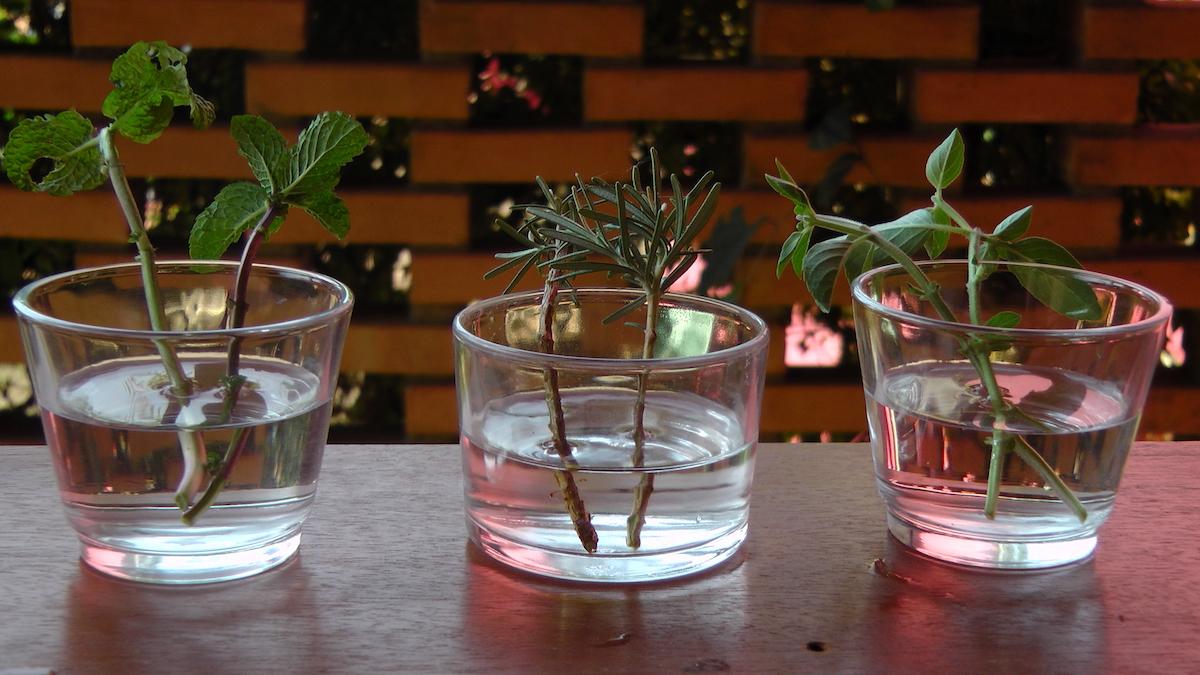 como enraizar plantas em água : hidroponia