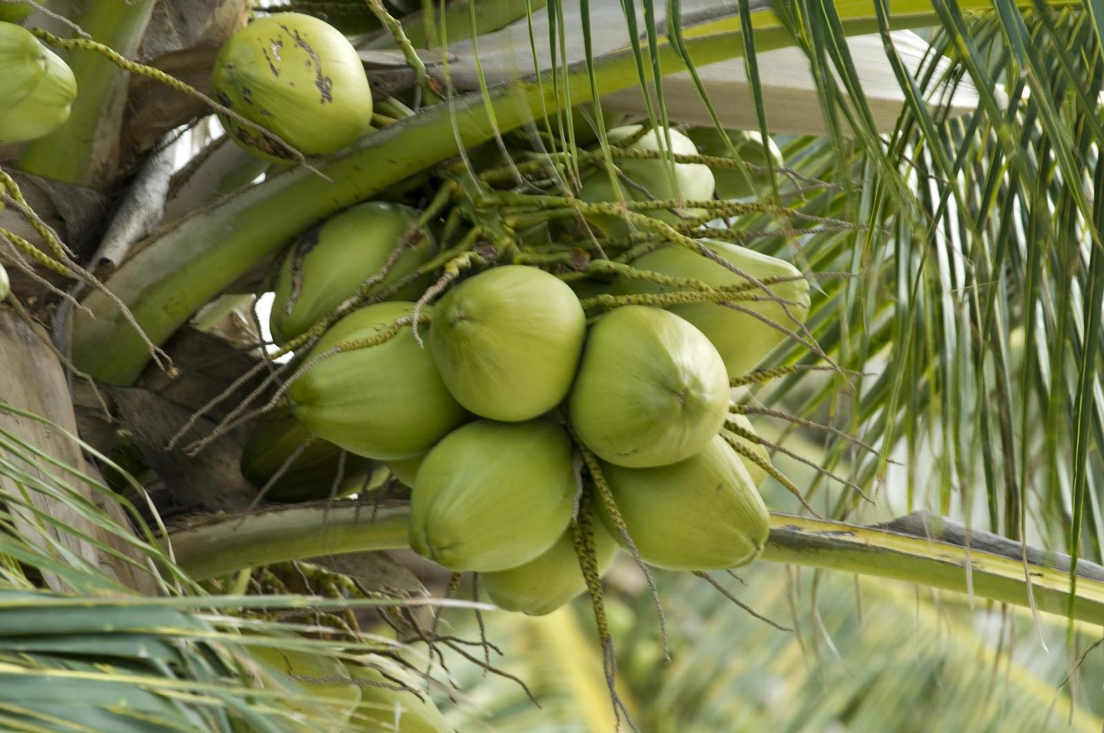 como plantar coco orgânico