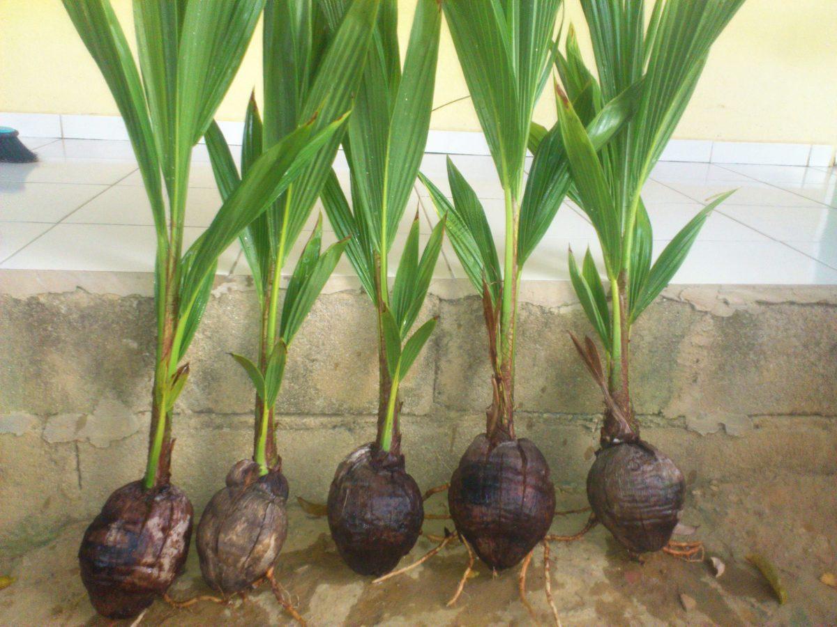 como plantar coco orgânico : como tirar muda de coqueiro