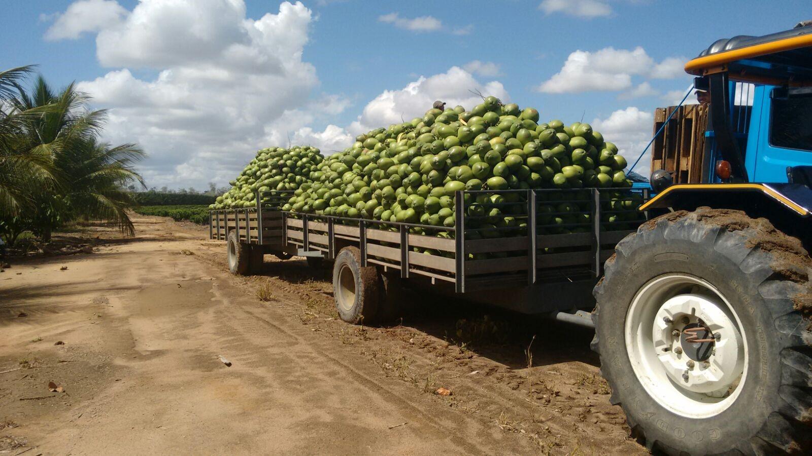 como plantar coco orgânico-tipos-de-coco-fruta