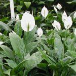 como plantar lírio da paz orgânico