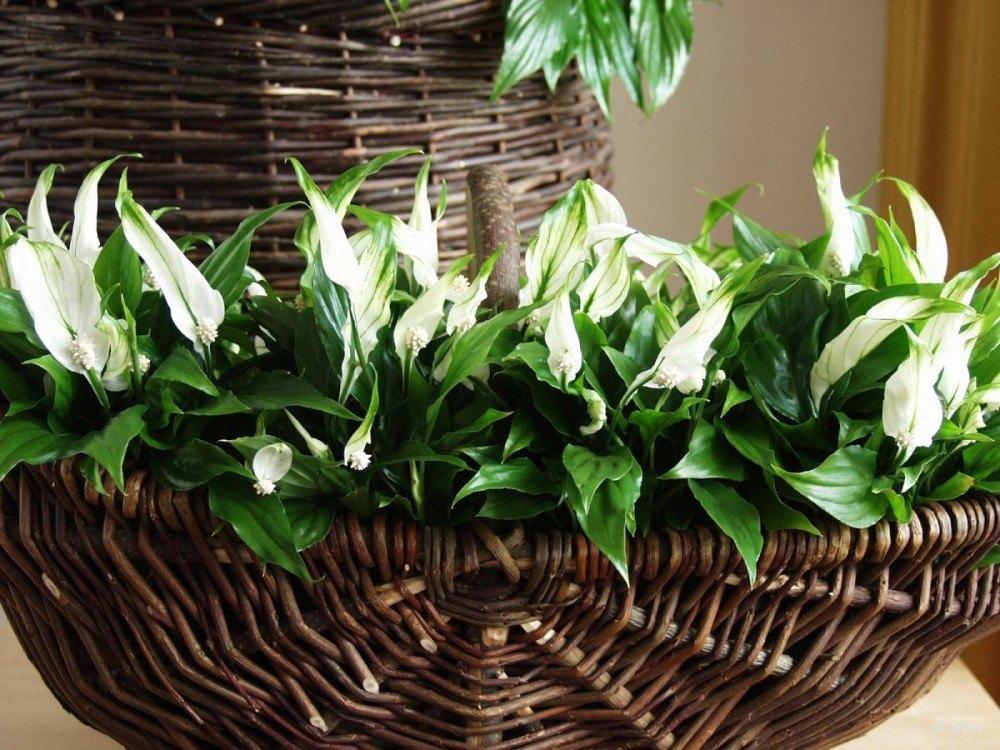como plantar lírio da paz orgânico : flores de lírio
