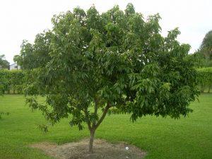 como plantar lichia orgânica : árvore de lichia