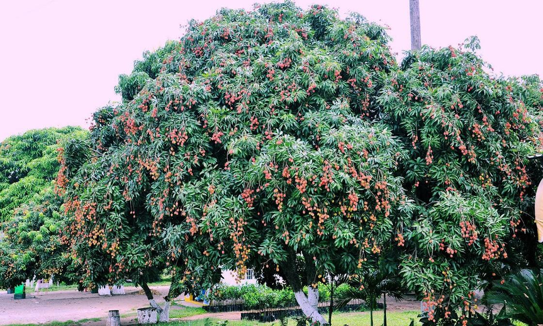 como plantar lichia orgânica : lichia árvore