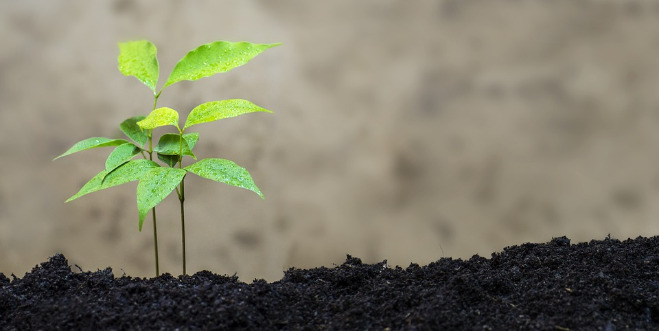 como plantar lichia orgânica : pé de lichia
