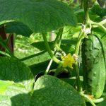como plantar pepino orgânico