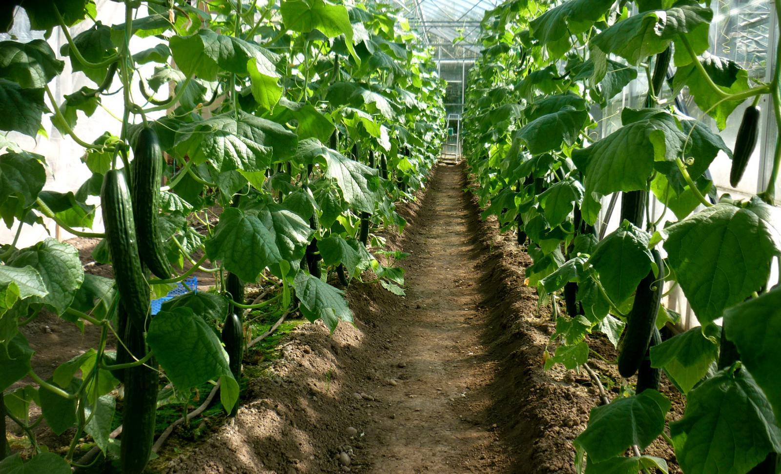 como plantar pepino orgânico : época de plantar pepino