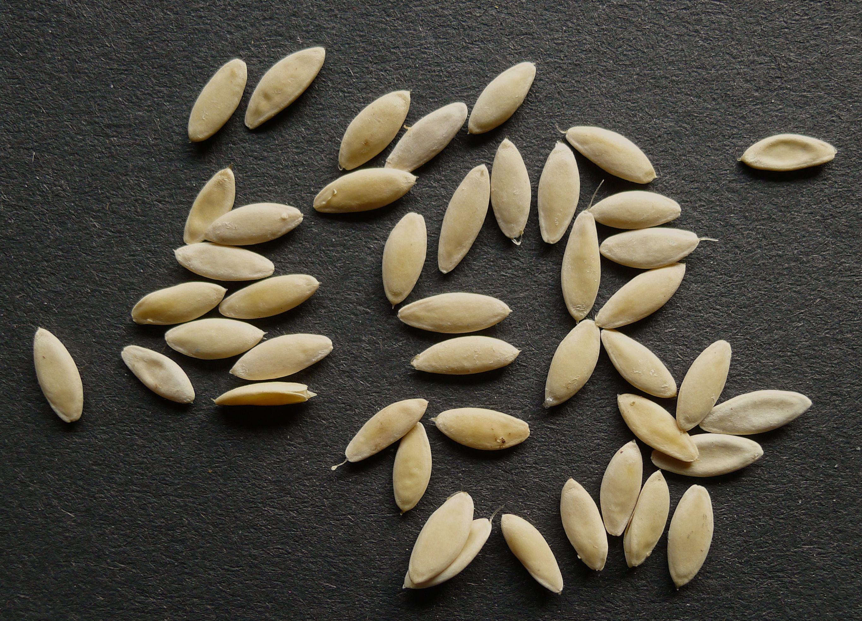 como plantar pepino orgânico : mês de plantar pepino