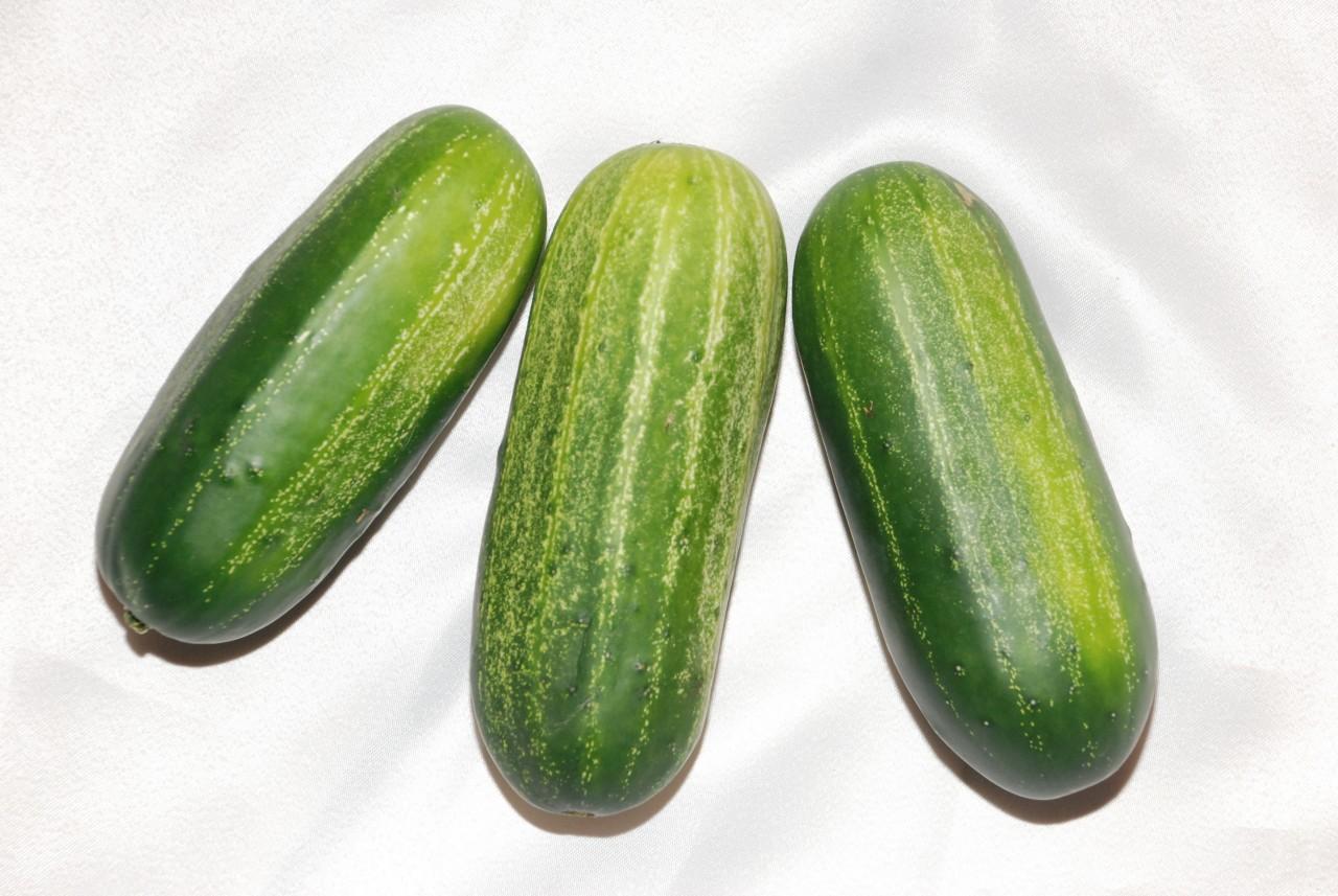 como plantar pepino orgânico : tipos de pepino que existem