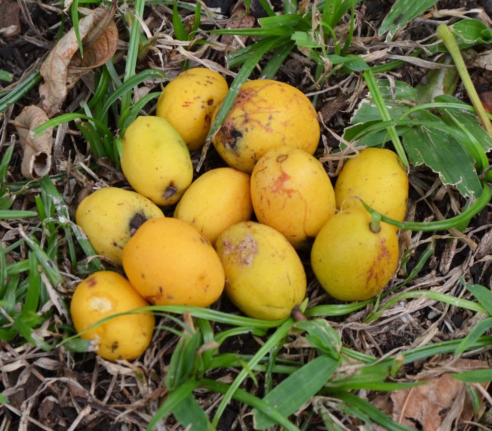 frutas exóticas brasileiras : cajá