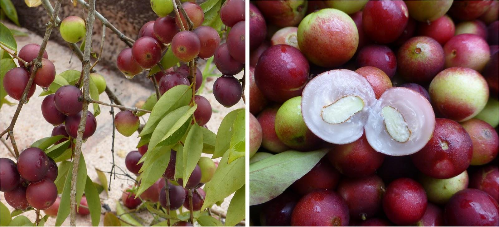 frutas exóticas brasileiras : camu-camu