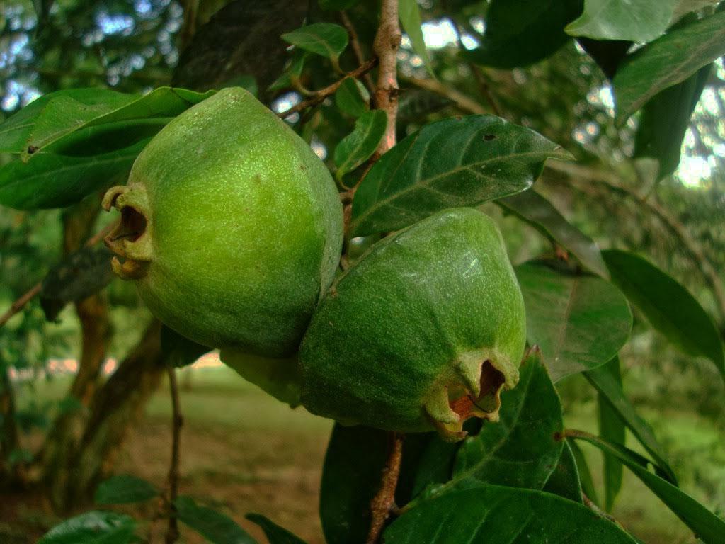 frutas exóticas brasileiras : frutas ácidas
