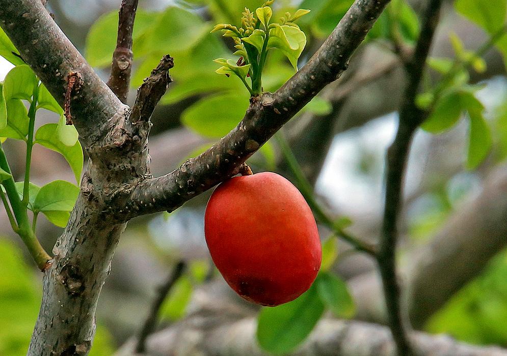 frutas exóticas brasileiras : frutas diferentes