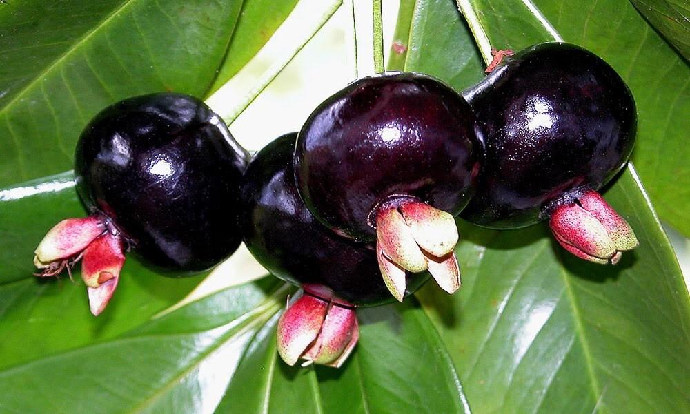 frutas exóticas brasileiras : grumixama