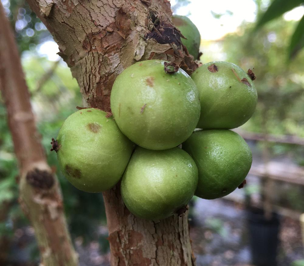 frutas exóticas brasileiras : jabuticaba branca