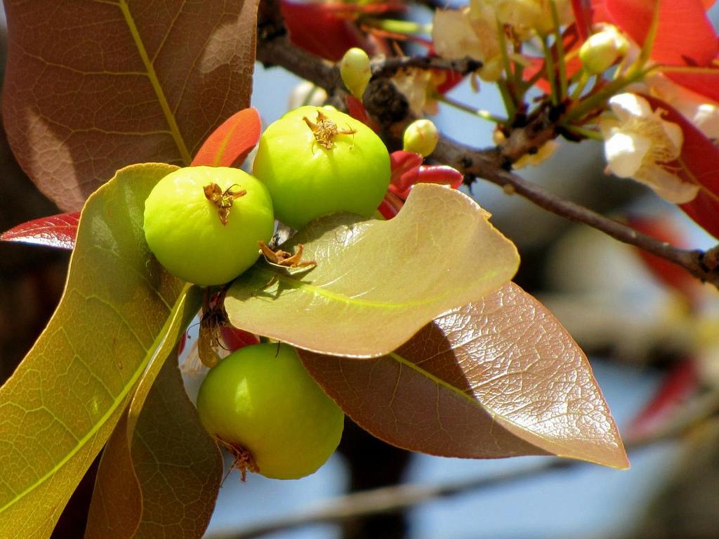 frutas exóticas brasileiras : mini frutas