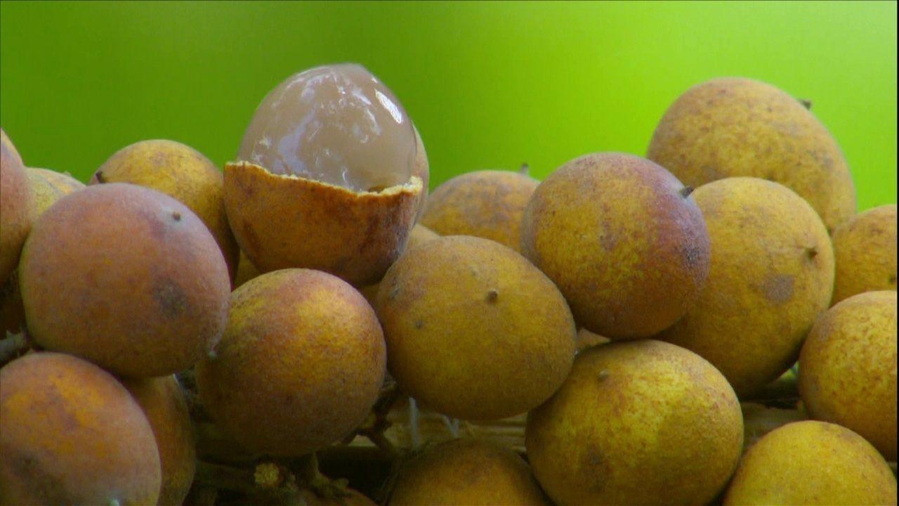 frutas exóticas brasileiras : pitomba